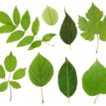 leaf-rubbings-image