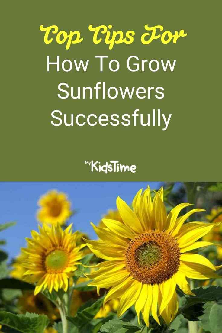 Top Tips For How To Grow Sunflowers Successfully