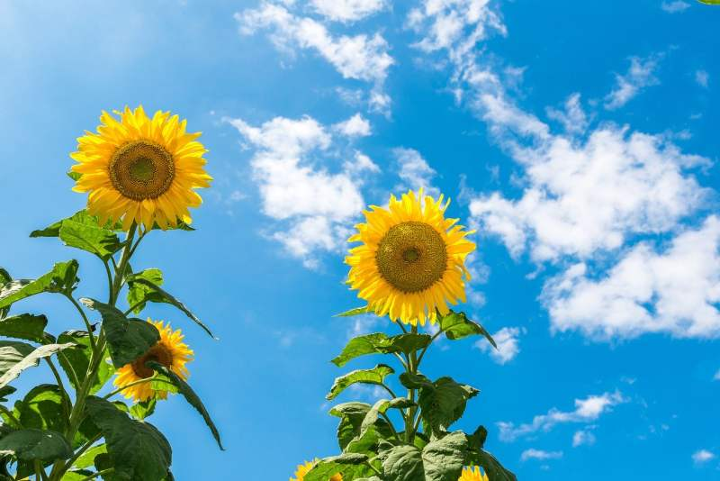 how to grow sunflowers
