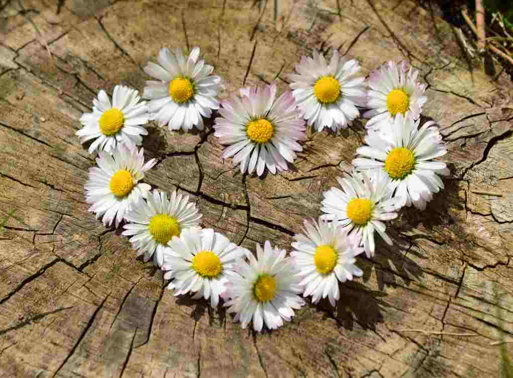 daisy chain heart