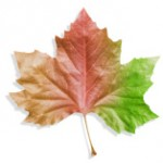 stock-photo-12569984-leaf-changing-color-from-brown-to-red-and-green