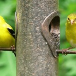 american-goldfinches-bird feeder