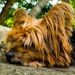 Dog with long fur