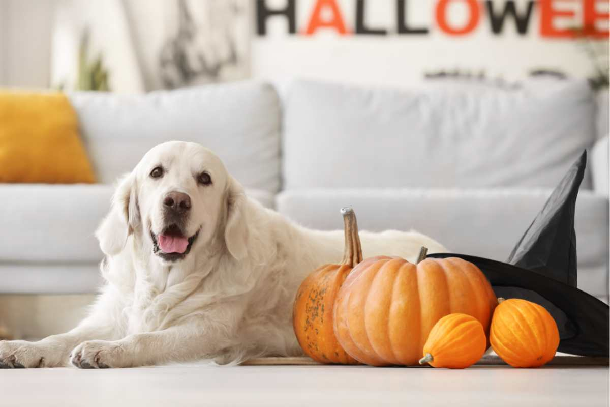 Look After Your Dogs at Halloween