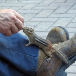Chipmunk as Pets