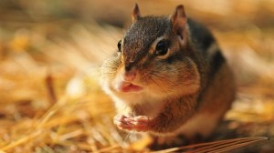 Chipmunk Facts