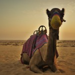 Dubai Camel Racing
