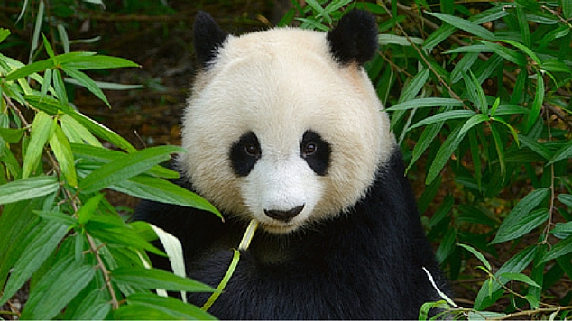15 Panda Facts for Kids