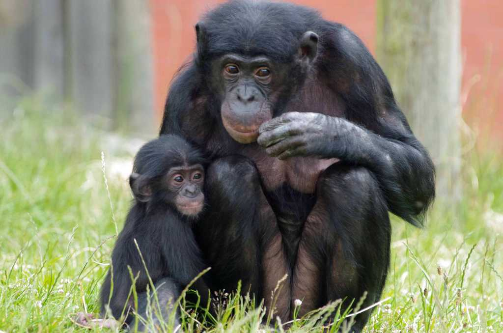 places to take kids twycross zoo bonobo