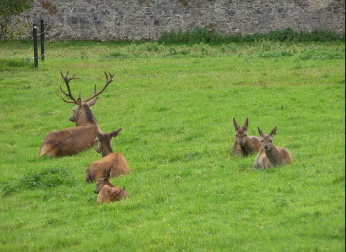 deer at coole park