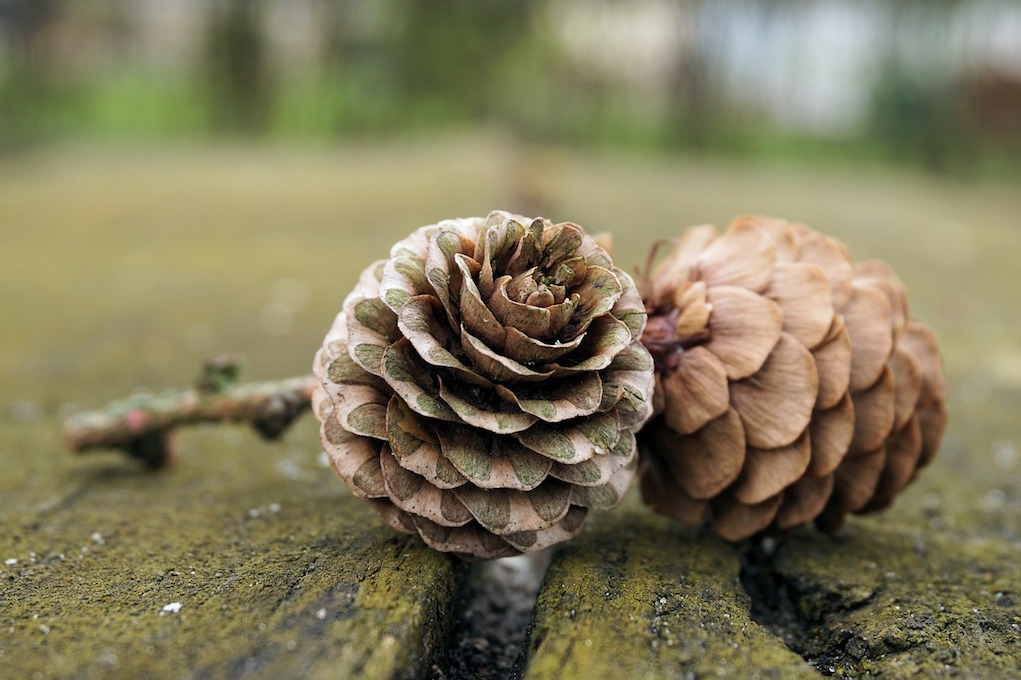 pine cones found on a winter walk for families