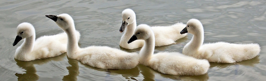 swans spotted on a winter walks for families