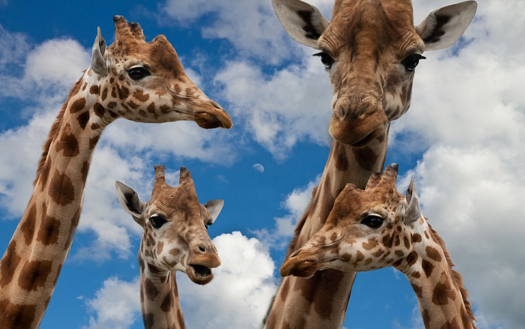 Giraffes places to animals in Ireland