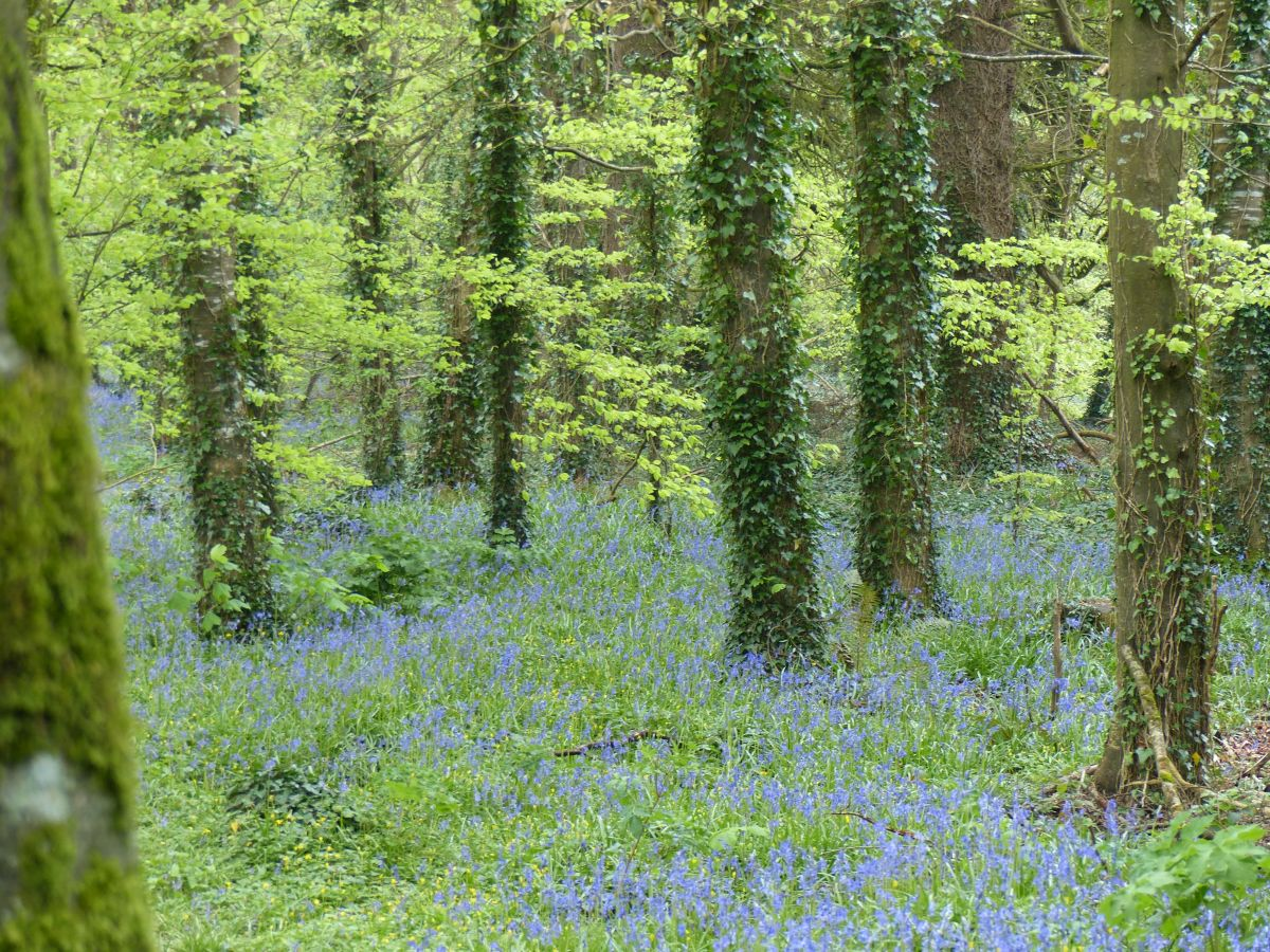 bluebells doneraile park spring walks for families in Ireland