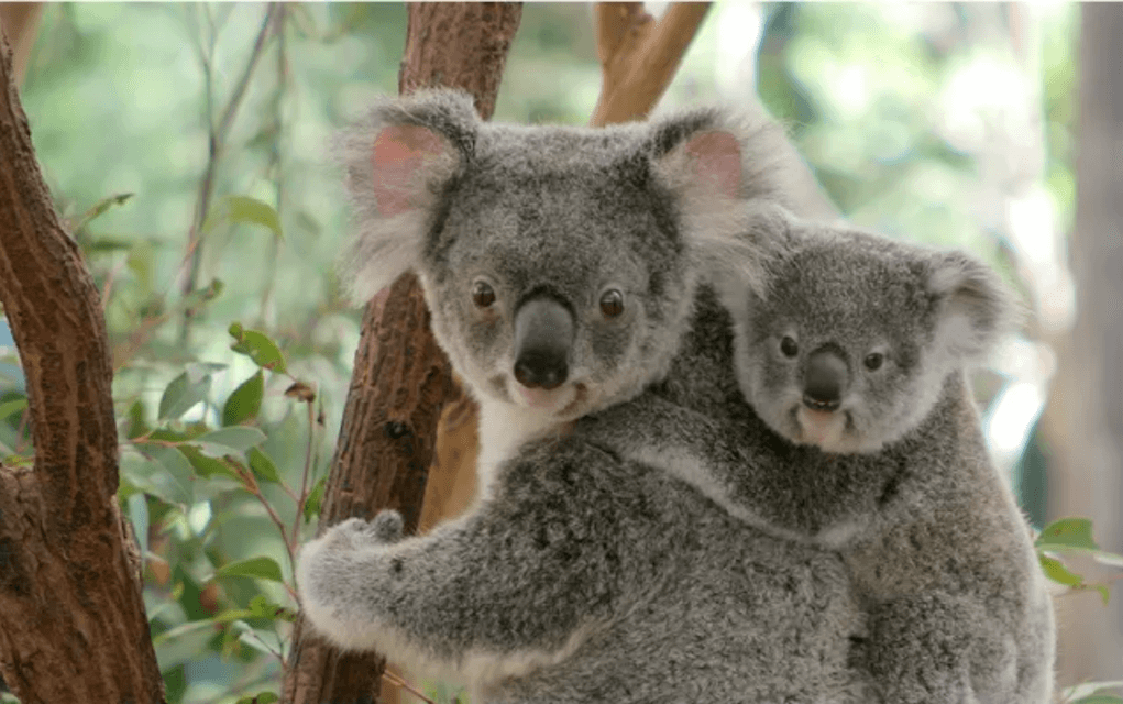 Lone pine koala sanctuary for things to do in brisbane