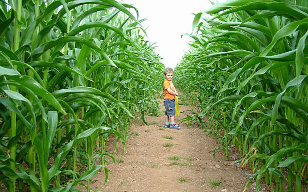 Amazing cornish maize maze for mazes in the UK