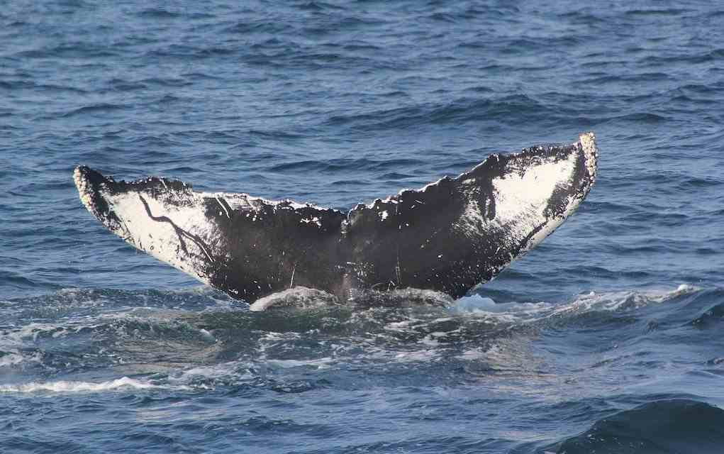 whale tail for whale watching trips in Ireland