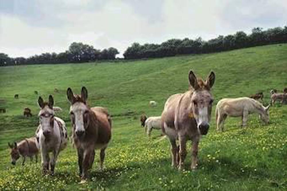 Donkeys from Irish Donkey Welfare Association Gallery for NMI Country Life Event