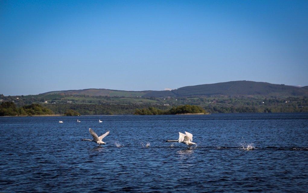 Swans on Lake Blueways Ireland