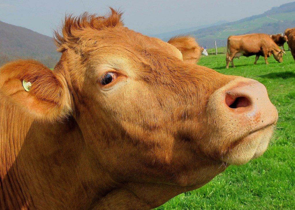 cows help reduce energy usage