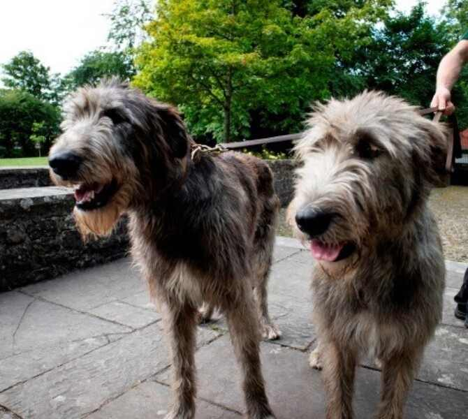 Meet the Wolfhounds for Heritage Week