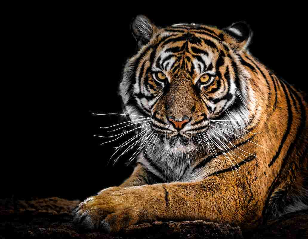 Tiger facts for kids (1)