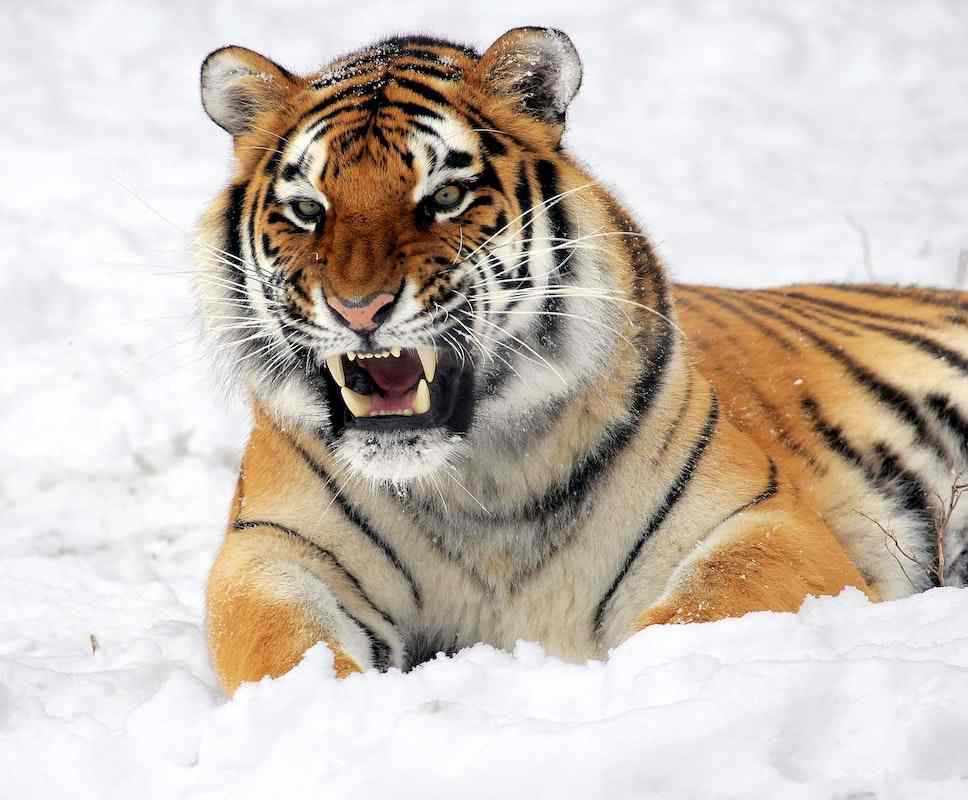 Tiger facts for kids 2 (1)