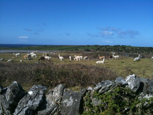 lovely-llamas-in-county-clare